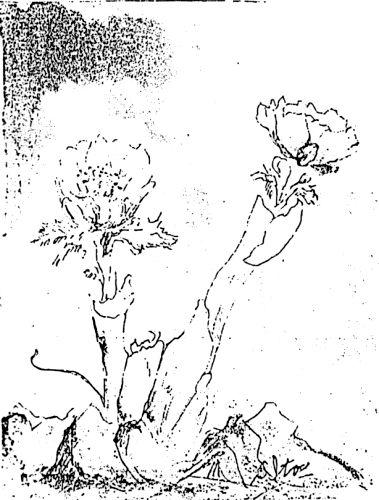 – 大夕張風物 – 春を呼ぶ福寿草
