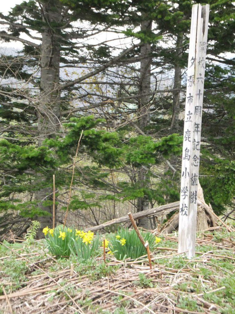 2011年 大夕張最後の春 -水仙1-  高橋歌子