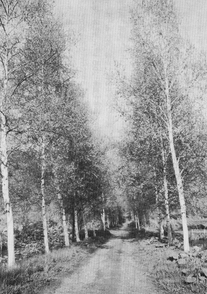 白樺の新緑の道